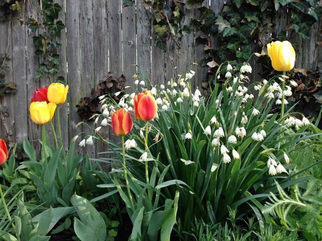 tulip snowdrop garden