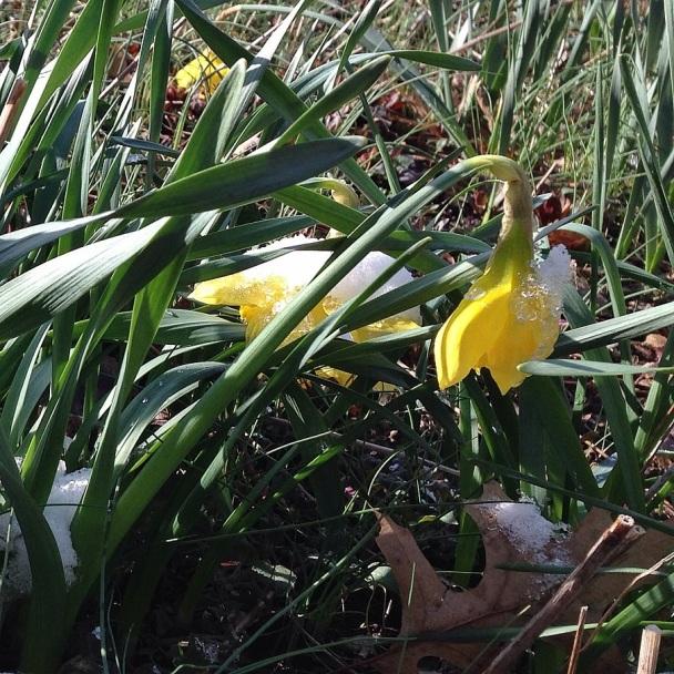 daffodil in snow